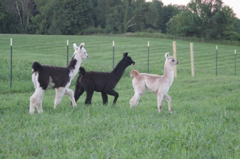 Standing Rock's She's A Slick One (f), Standing Rock's Hide Your Heart (f), & Standing Rock's Champaña (f)